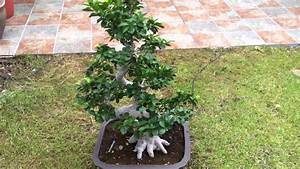 Ficus Bonsai Schneiden : bonsai ficus retusa youtube ~ Indierocktalk.com Haus und Dekorationen