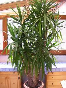 Yucca Palme Blüht : yucca palme f r selbstabholer in mannheim pflanzen ~ Lizthompson.info Haus und Dekorationen