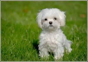 little dogs that don t shed dog pet photos gallery