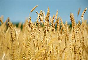 Rain beneficial for wheat crop | Aaj News