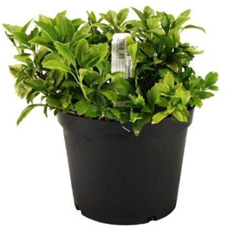 Pachysandra terminalis 'Green Carpet' 3ltr Pot   Woodcote