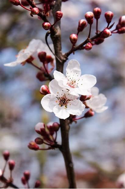 Cherry Blossoms 4k Unsplash Botanicals