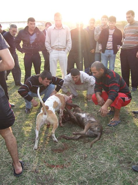 horrifying facts  dog fighting  knowledge archive