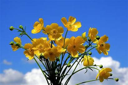 Buttercup Flower Flowers Meaning Types Ranunculus Gardening