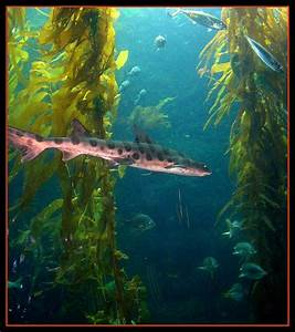 Leapord shark in Kelp forest, California - a photo on ...