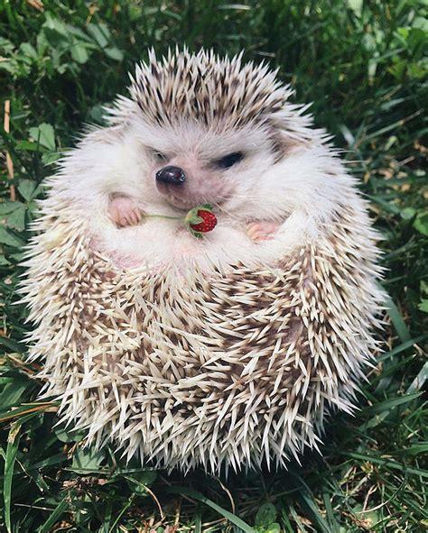 adorable hedgehog pics  celebrate hedgehog day