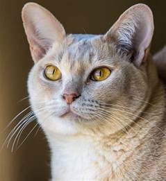 burmese cats the burmese cat a complete guide to the breed