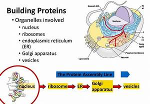 What is golgi apparatus structure