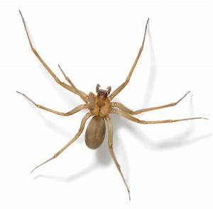 Brown Recluse Spider Facts   Brown Recluse Spide Control ...