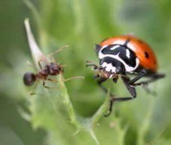 Spinnmilben Natürlich Bekämpfen : tomaten n tzlinge sch dlinge nat rlich bek mpfen mit marienk fern co plantura ~ Buech-reservation.com Haus und Dekorationen
