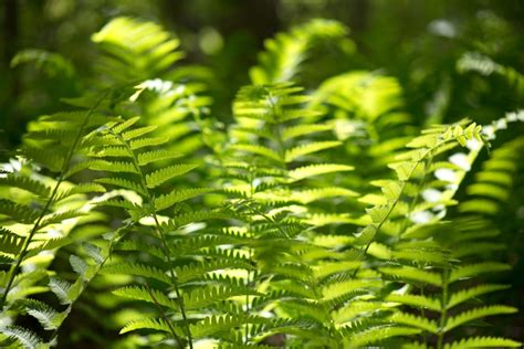 picture fern leaves green fern plants forest woods
