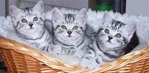 British shorthair black silver tabby kittens for sale ...