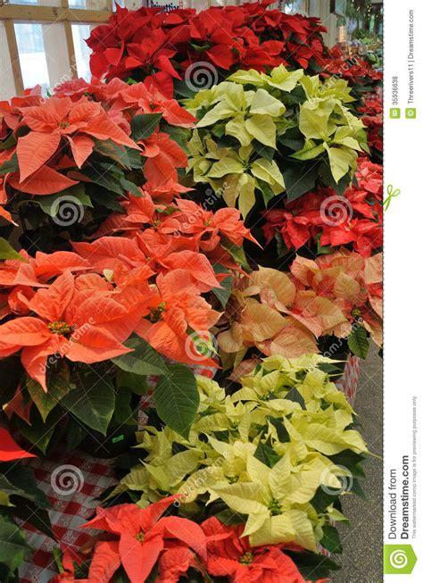 christmas poinsettia plants  sale stock photo image