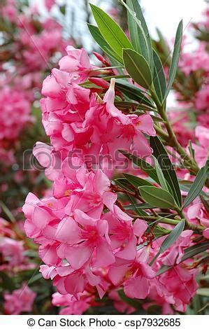 kamerplant met rose bloemen stock beelden van mooi roze middellandse zee planten