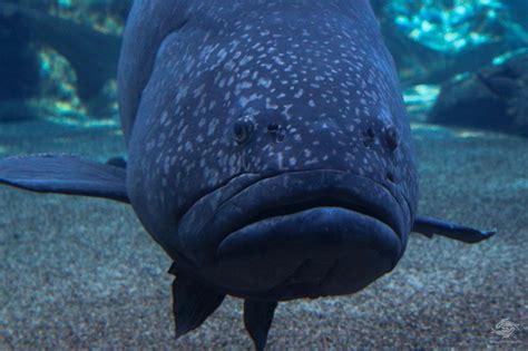 giant grouper facts seaunseen groupers reproduction epinephelus lanceolatus photographs
