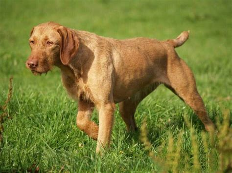 vizsla shedding puppy coat wirehaired vizsla breed 187 everything about wirehaired
