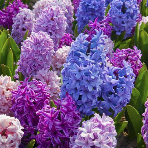 hyacinth bulbs flower bulbs at wholesale prices
