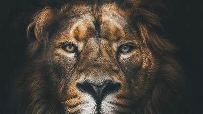 Lion Mane Muzzle Predator Background Widescreen