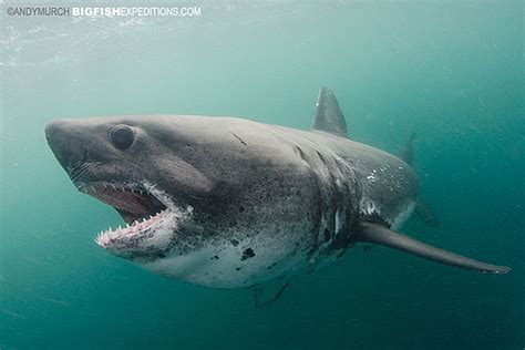 Orca Whale Attacks Fishing Boat In Alaska by Salmon Sharks 2014 Trip Report