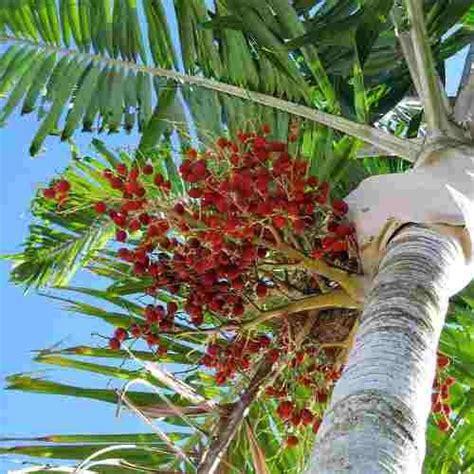 Muda de Palmeira Carpentária Acuminata - Safari Garden