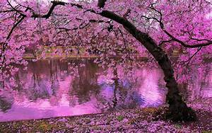 spring, blooming, trees, , pink, blossoms, of, cherry, river