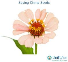 how to save zinnia seeds pinterest the world s catalog of ideas