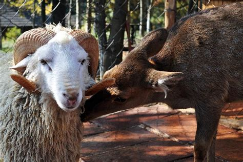 Sheep Deer Love Affair In Yunnan Zoo Now Proven With