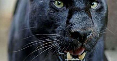 north wales  files  big cats   prowl