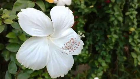 white flower varieties white hibiscus flowers or white arhul flower youtube
