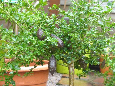 fiche de culture comment cultiver les citronniers et agrumes alsagarden plantes