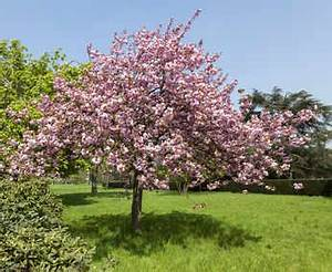 Taille De Cerisier : cerisier du japon plantation taille et conseils d 39 entretien ~ Melissatoandfro.com Idées de Décoration