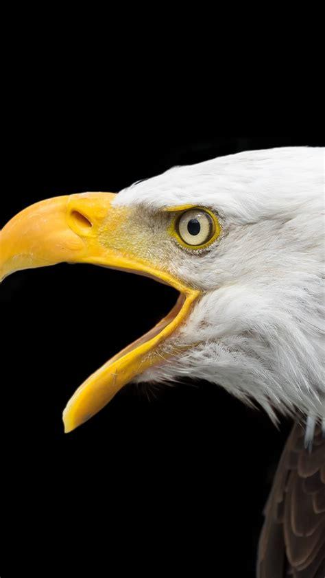 bald eagle face  uhd wallpaper