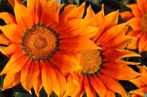 Fondos De Pantalla Apple Imagen De Flores Naranjas Foto Gratis 100005897