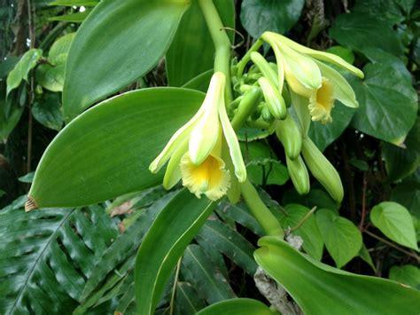 vanille de l orchid 233 e 224 la gousse