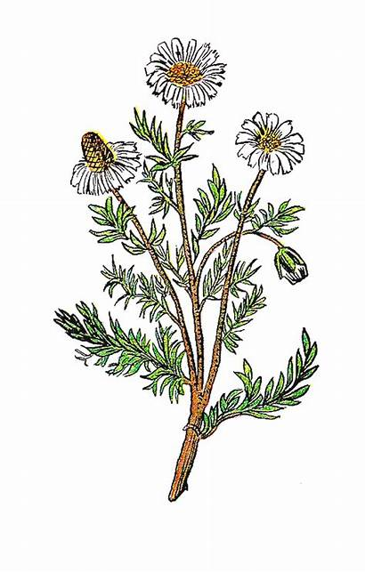 Chamomile Clipart Flower Flowers Herb Clip Plant
