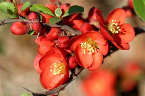 flowering quince powell gardens blog from 2 weeks behind to back on track