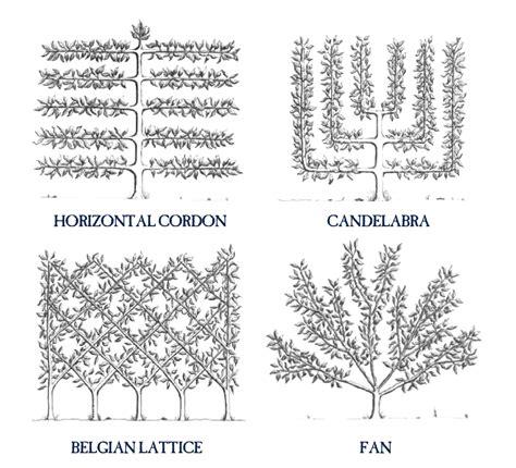 espalier how to how to espalier fruit trees stark bro s