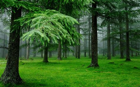green forest wallpaper beautiful green forest spruce on nature wallpa 10295 Beautiful