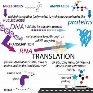 Protein Translation  U2013 The Bumbling Biochemist