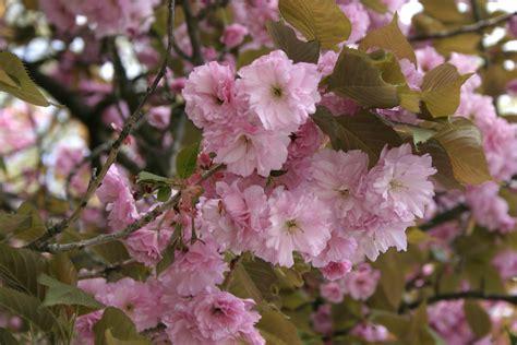 prunus flowering cherry image gallery prunus serrulata