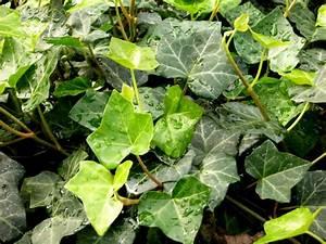 Kübelpflanzen Winterhart Schattig : hedera helix 39 hibernica gemeiner efeu pflanzen ~ Michelbontemps.com Haus und Dekorationen