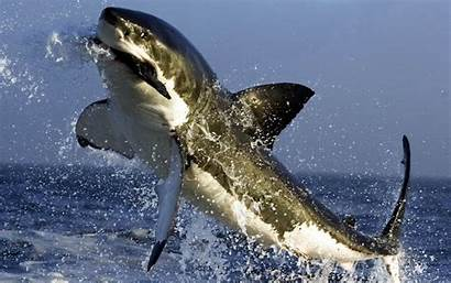 Sharks Desktop Wallpapers Backgrounds Background Watching
