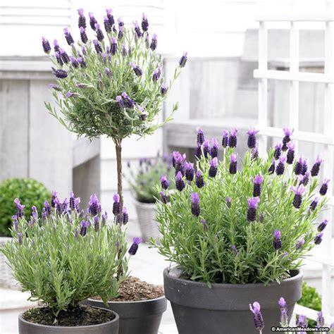 lavender maintenance spanish lavender anouk lavandula stoechas american meadows