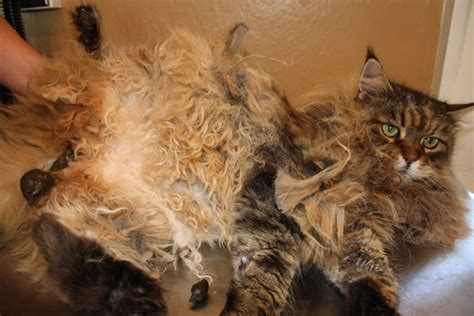 how to get mats out of cat hair cats need professional groomers just like dogs and here s