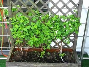 Pflanzen Sichtschutz Balkon : sichtschutz balkon pflanzen google zoeken voortuin pinterest balkon balkon pflanzen en ~ Eleganceandgraceweddings.com Haus und Dekorationen