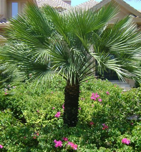 planting fan palm trees european fan palm chamaerops humilis 15 39 h plants of