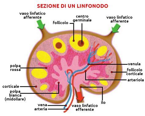 vasi linfatici sistema linfatico attivazioni biologiche
