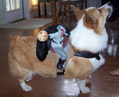 cute corgi halloween costume post  pics