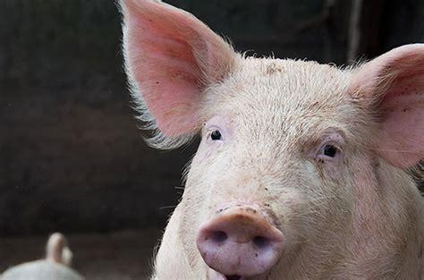 comment cuisiner un cochon cochon animaux cie com