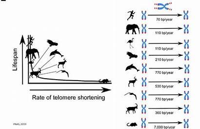 Shortening Telomere Span Rate